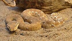 Eristicophis macmahonii (6).jpg
