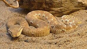 MacMahon-Viper (Eristicophis macmahonii)
