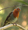 Erithacus rubecula (Madrid, Spain) 06.jpg