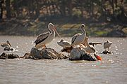 Eritrean birds - pelicans in Asmara pound