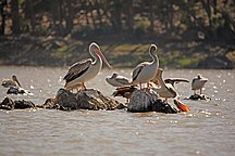 Eritrea-Wildlife-Eritrean birds - pelicans in Asmara pound