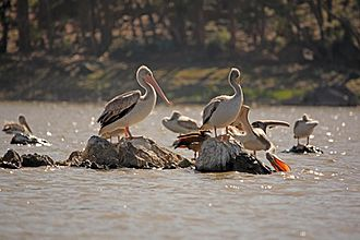 Pelicans in a pond near Asmara Eritrean birds - pelicans in Asmara pound.jpg