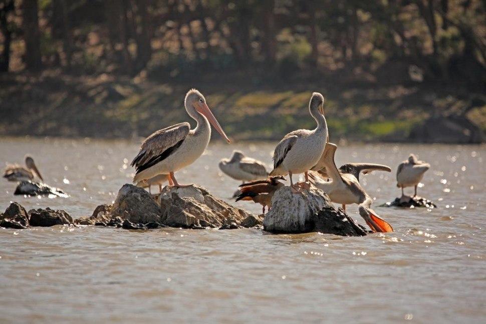 Eritrean birds - pelicans in Asmara pound