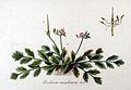 Erodium moschatum — Flora Batava — Volume v11.jpg