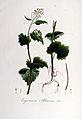 Erysimum alliaria — Flora Batava — Volume v6.jpg
