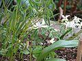 Erythronium hendersonii ^ Epimedium grandiflorum - Flickr - peganum.jpg
