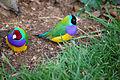Erythrura gouldiae -Twycross Zoo, Leicestershire, England-8a (1).jpg