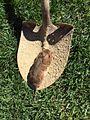 Es ce un lemming brun ?.jpeg