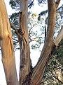 Eucalyptus cneorifolia - upper branch bark.jpg