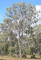 Eucalyptus coolabah on floodplain, Rockhampton, Queensland.jpg