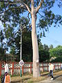Eucalyptus tree at Hira Nagar Railway station.JPG