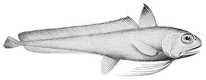 Eucla cod - Image: Euclichthys polynemus 1