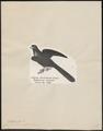 Eudynamys horonata - 1809-1845 - Print - Iconographia Zoologica - Special Collections University of Amsterdam - UBA01 IZ18800281.tif