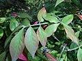 Euonymus alatus 2015-10-03 5842.jpg