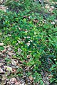 Euphorbia amygdaloides-Euphorbe des bois-20180516.jpg
