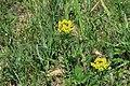 Euphorbia cyparissias in natural monument Kalamandra in spring 2012 (1).JPG