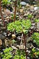 Euphorbia helioscopia in Jardin Botanique de l'Aubrac 03.jpg
