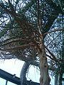 Euphorbia leucodendron BotGardBln07122011H.JPG