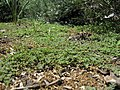 Euphorbia maculata habit2 (16366496171).jpg