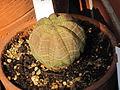 Euphorbia obesa 111.JPG