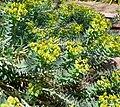 Euphorbia rigida 2.jpg