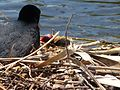 Eurasian Coot. with chick. Fulica atra - Flickr - gailhampshire.jpg