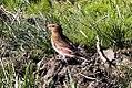 Eurasian Crimson-winged Finch (Rhodopechys sanguineus) (8079442510).jpg