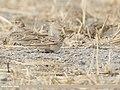 Eurasian Skylark (Alauda arvensis) (48332409947).jpg