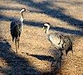 Eurasian cranes (Grus grus).jpg