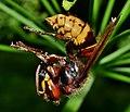 European hornet (Vespa crabo ) Стършел.jpg