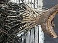 Euterpe oleracea (assai) marjad 3.jpg