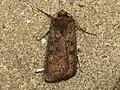 Euxoa nigricans (9448897327).jpg