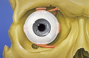 Human eye - Normal anatomy of the human eye and orbit, anterior view