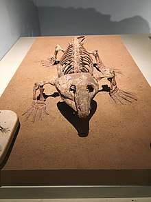 FMNH Labidosaurus.jpg