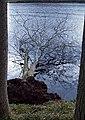 Fallen tree, Edgelaw Reservoir - geograph.org.uk - 711109.jpg