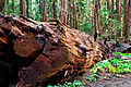 Fallen tree forest of nisene marks.jpg