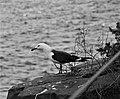 Far eastern gull.jpg