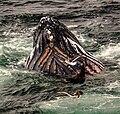 Feeding Humpback Whale, Gerlache Strait, Antarctic Peninsula (26002399655).jpg