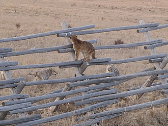 Cougar - Juvenile cougars in conflict with coyotes at National Elk Refuge
