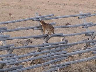 Cougar - Juvenile cougars in conflict with coyotes at National Elk Refuge