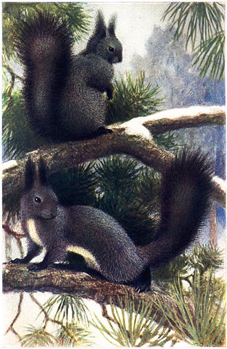 Atlantic (period) - Sciurus vulgaris