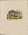 Felis pardus - 1831 - Print - Iconographia Zoologica - Special Collections University of Amsterdam - UBA01 IZ22100216.tif