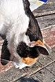 Felis silvestris catus - Rapperswil Duftrosengarten 2011-10-23 15-26-12.jpg