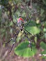 Female-nephila-clavata-ventral-side.jpg
