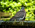 Feral pigeon in Paris 75006 Jardin du Luxembourg 20110506.jpg