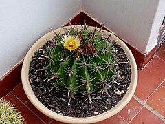 Ferocactus Herrerae.jpg