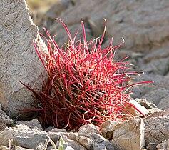 Ferocactus cylindraceus 7.jpg