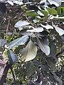 Ficus 2.jpg