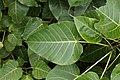 Ficus arnottiana 630.jpg