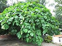 Ficus auriculata.jpg
